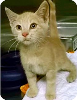 Domestic Shorthair Kitten for adoption in Edmonton, Alberta - Quincy