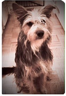 Schnauzer (Standard)/Yorkie, Yorkshire Terrier Mix Dog for adoption in Bedminster, New Jersey - Cooper Clapton