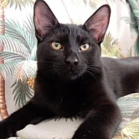 Domestic Shorthair Cat for adoption in Ventura, California - Perry (aka Lover Boy)