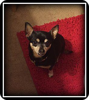 Chihuahua Dog for adoption in Indian Trail, North Carolina - Sweet Pea