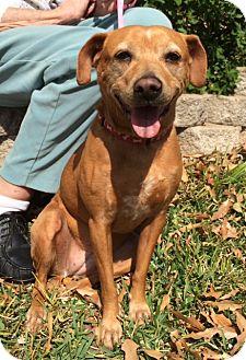 Terrier (Unknown Type, Medium)/Dachshund Mix Dog for adoption in San Antonio, Texas - Tracy