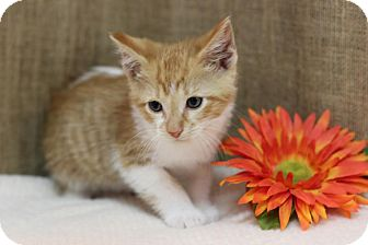 Manx Kitten for adoption in Midland, Michigan - Barrie