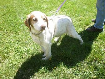 Brittany Dog for adoption in Jackson, Mississippi - TN/Max