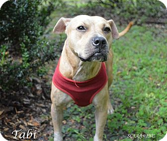 Labrador Retriever/American Staffordshire Terrier Mix Dog for adoption in Lake Pansoffkee, Florida - Tabi