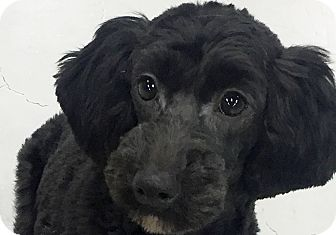 Poodle (Miniature)/Dachshund Mix Puppy for adoption in Princeton, New Jersey - Samsung