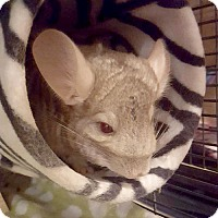 Adopt A Pet :: Boreas - Patchogue, NY