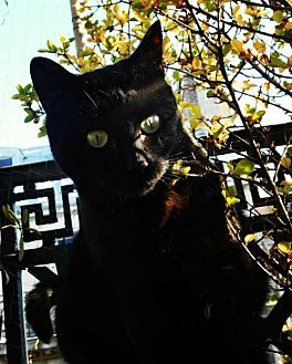 Bombay Cat for adoption in Brooklyn, New York - Lilou 'La Parisienne'