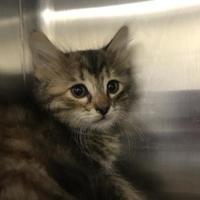 Adopt A Pet :: Taylor - Lewisville, TX