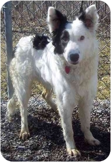 Border Collie/Australian Shepherd Mix Dog for adoption in Howes Cave, New York - Captain - On Hold