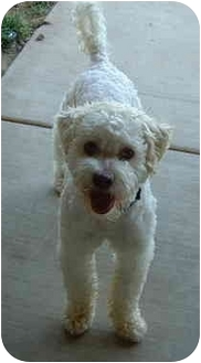 Poodle (Miniature)/Terrier (Unknown Type, Medium) Mix Dog for adoption in San Diego (all areas), California - Gus