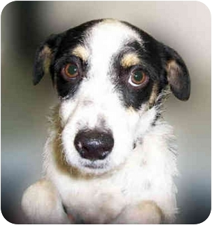 Jack Russell Terrier Mix Puppy for adoption in San Clemente, California - ZACK