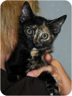 Domestic Shorthair Kitten for adoption in Monroe, Georgia - Bambi