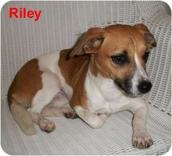 Jack Russell Terrier Mix Dog for adoption in Slidell, Louisiana - Riley