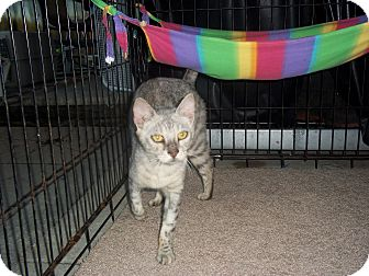 Bengal Cat for adoption in Lantana, Florida - Avalanche