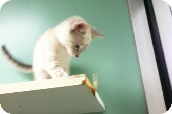 Domestic Shorthair Kitten for adoption in Columbus, Georgia - Hazel 4764
