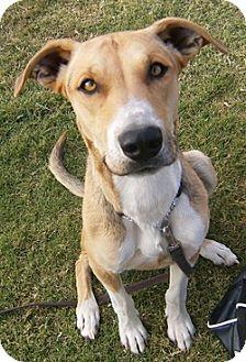 Greyhound Mix Dog for adoption in Alamogordo, New Mexico - Sara