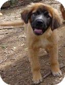 Golden Retriever/German Shepherd Dog Mix Dog for adoption in Spring Valley, New York - Chumba