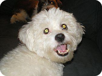 Maltese/Bichon Frise Mix Dog for adoption in Apex, North Carolina - Aspen