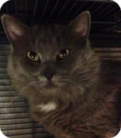 Domestic Longhair Cat for adoption in West Des Moines, Iowa - Valentine