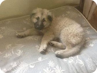 Anatolian Shepherd/Akbash Mix Puppy for adoption in Westbank, British Columbia - Theo