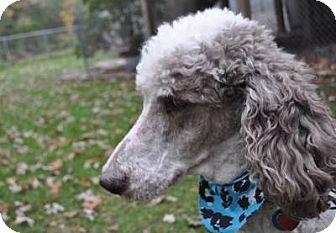 Standard Poodle Dog for adoption in Elk River, Minnesota - JASPER