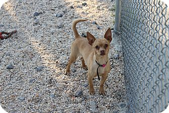 Chihuahua Dog for adoption in Atmore, Alabama - Pixie