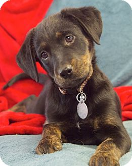 Labrador Retriever Mix Puppy for adoption in Knoxville, Tennessee - Andrea