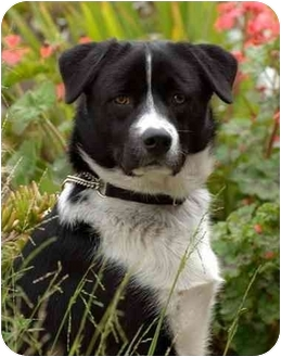 Border Collie Mix Dog for adoption in Rolling Hills Estates, California - Yankee