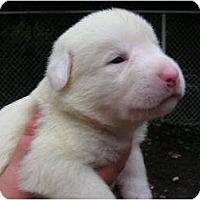 Adopt A Pet :: Ellie Mae - Rigaud, QC