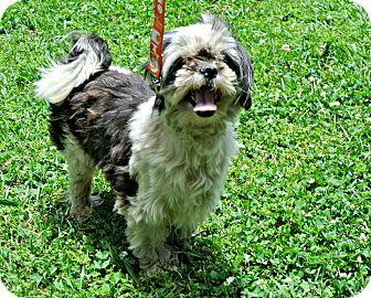 Shih Tzu Dog for adoption in Vancleave, Mississippi - Gus
