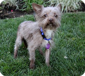Yorkie, Yorkshire Terrier Mix Dog for adoption in Newport Beach, California - HERCULES