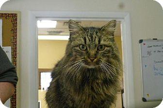 Domestic Longhair Cat for adoption in Marble, North Carolina - Sadie
