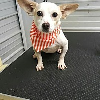 Jack Russell Terrier Mix Dog for adoption in Columbia, Tennessee - Tucker