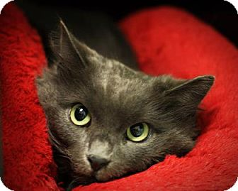 Domestic Longhair Cat for adoption in Parma, Ohio - Fuzzy