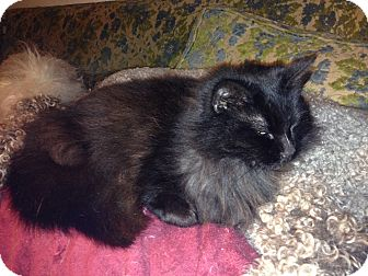 Domestic Longhair Cat for adoption in Santa Rosa, California - Evelyn