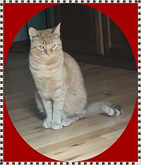 Domestic Shorthair Cat for adoption in Mt. Prospect, Illinois - Duncan