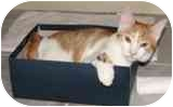 Domestic Shorthair Cat for adoption in Scottsdale, Arizona - Sula