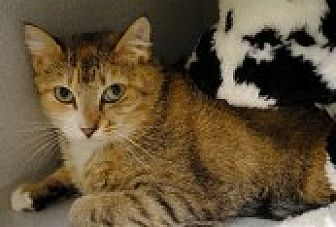 Domestic Shorthair Cat for adoption in Marietta, Georgia - Acacia