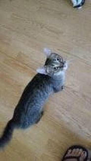 Domestic Mediumhair Cat for adoption in Shelbyville, Kentucky - Bonnie