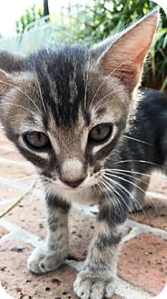 Domestic Shorthair Kitten for adoption in Houston, Texas - Bubba