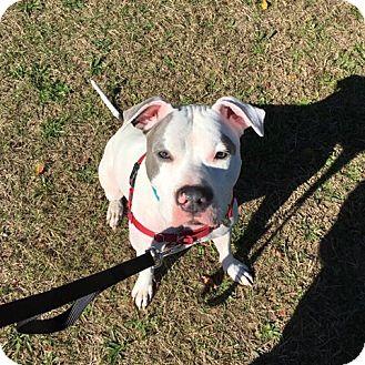 American Pit Bull Terrier/American Bulldog Mix Dog for adoption in Lake Grove, New York - Savannah