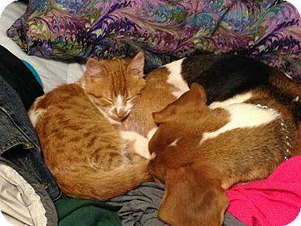 Maine Coon Cat for adoption in Ypsilanti, Michigan - Callaway