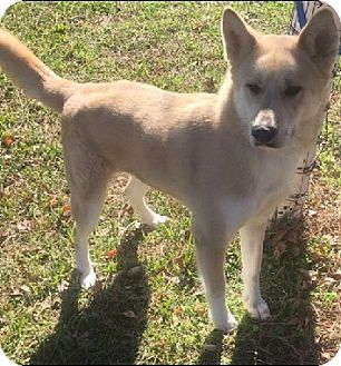German Shepherd Dog/Siberian Husky Mix Dog for adoption in Austin, Texas - Sadie