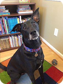 Labrador Retriever Mix Dog for adoption in Nashville, Tennessee - Luka