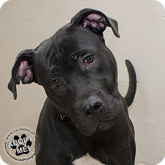 Pit Bull Terrier Mix Dog for adoption in Troy, Ohio - Hoover