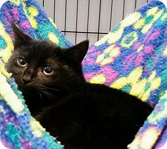 Domestic Shorthair Kitten for adoption in Lafayette, New Jersey - B.B.