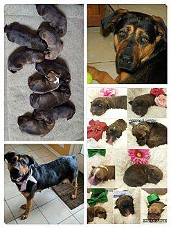 Rottweiler/Boxer Mix Puppy for adoption in Minot, North Dakota - Gwendolyn's Boys
