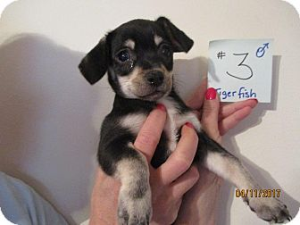 Chihuahua Mix Puppy for adoption in Shawnee Mission, Kansas - Tigerfish