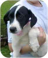 Labrador Retriever/Boxer Mix Puppy for adoption in Marion, North Carolina - Tyona