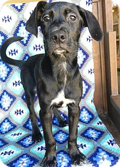 Great Dane/Labrador Retriever Mix Puppy for adoption in Fredericksburg, Texas - Moana
